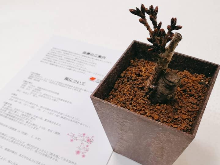 杏林堂桜盆栽三幸製菓当選懸賞